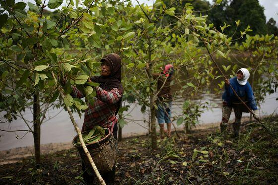 U.S. Hunger For Opioid Alternative Drives Boom in Borneo Jungle