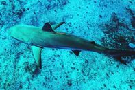 relates to Protecting Sharks Starts With Knowing Where They Are