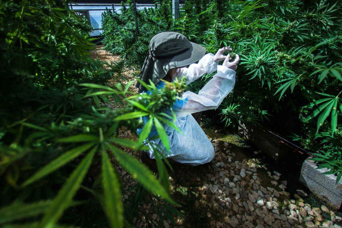 Израиль марихуана закон потеря памяти из за марихуаны