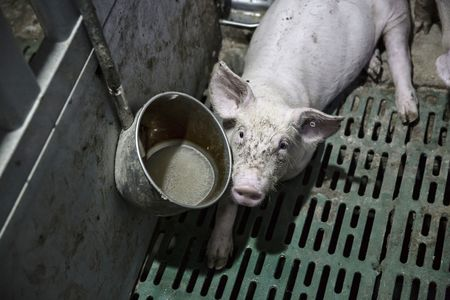 A young piglet in a pen at Shen's farm.