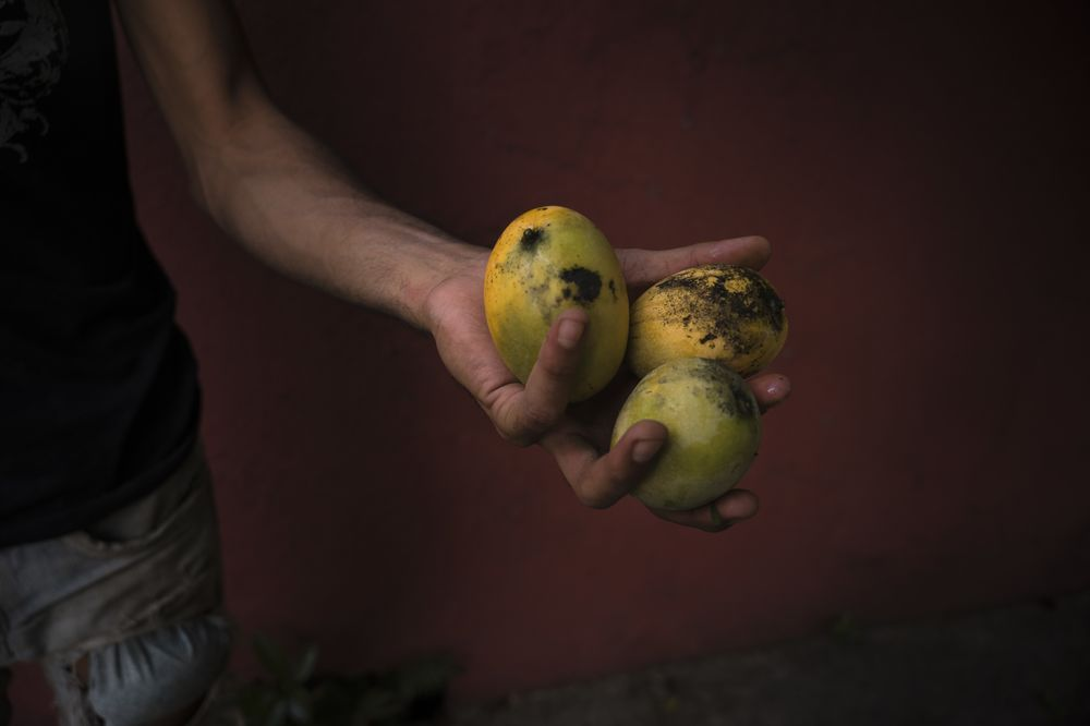 The Mangoes Are Ripe in Caracas. And All Gone.