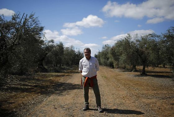 Trump's Tariffs Send Shock Waves Through Spain's Olive Groves