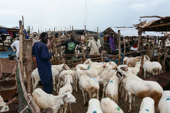 Voting Secondary to Sheep Shopping in Politics-Weary Mali