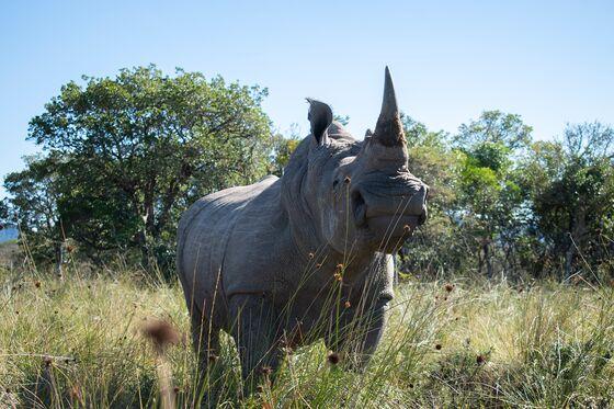 Radioactive Rhino Horns Set to Add to Anti-Poaching Arsenal