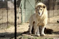 SAFRICA-ENVIRONMENT-ANIMAL-LION-FARM