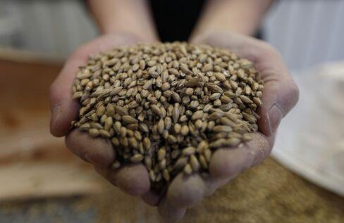 A Venture Whisky employee holds malt barley.