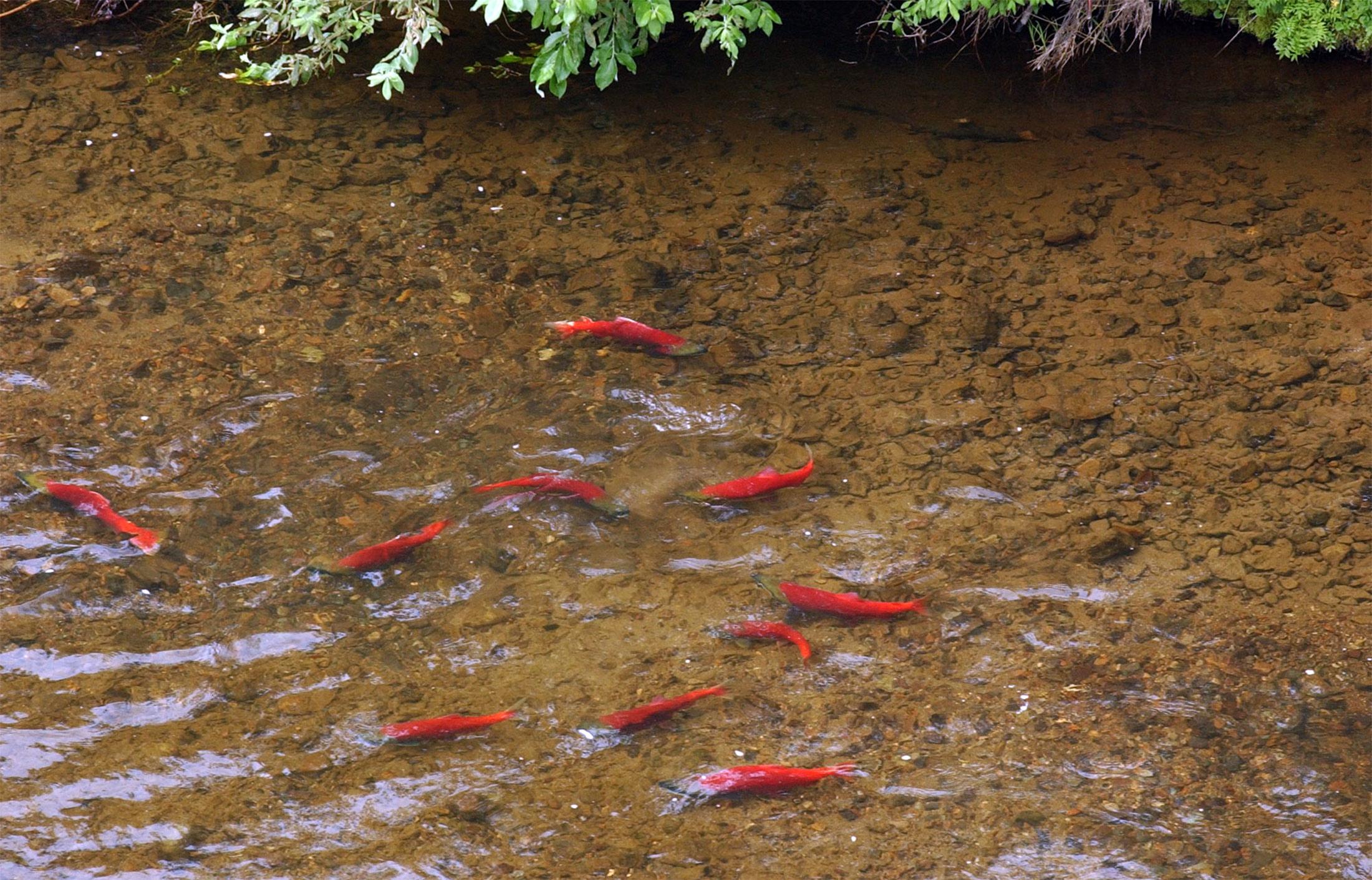 PA Salmon