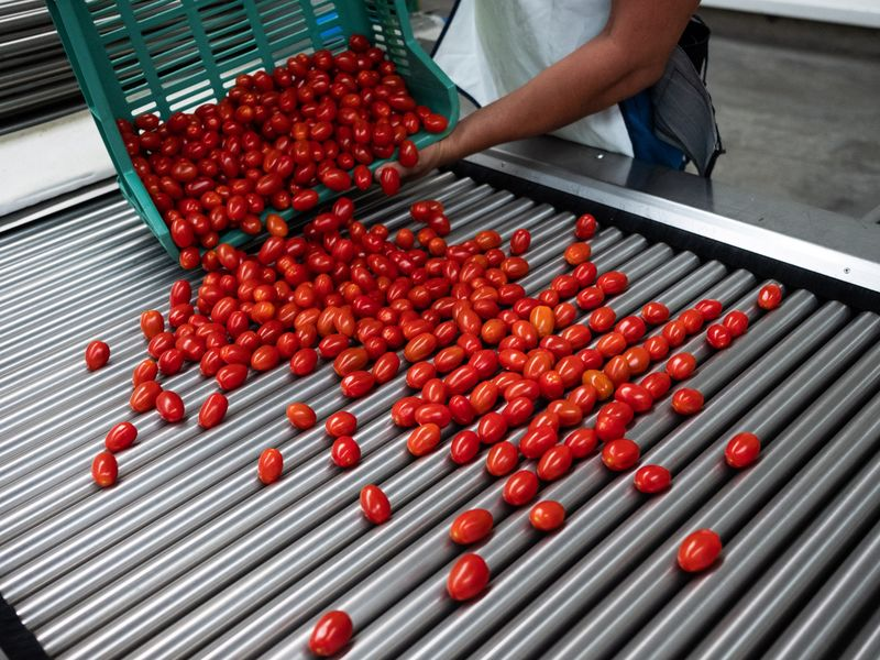 Operations At A Tomato Greenhouse & Packing Facility As Imports Quadruple In Ire Of Florida Farmers