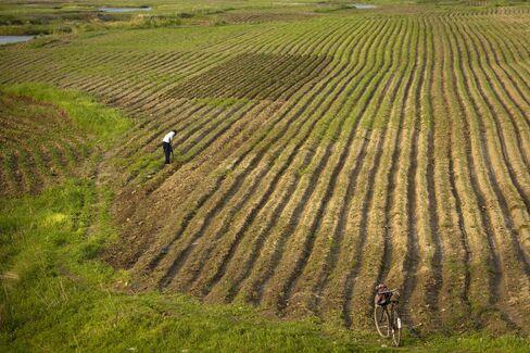 Corn Field in Jilin Province