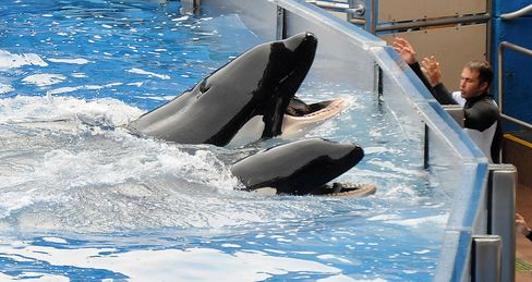 Killer whale performance at SeaWorld