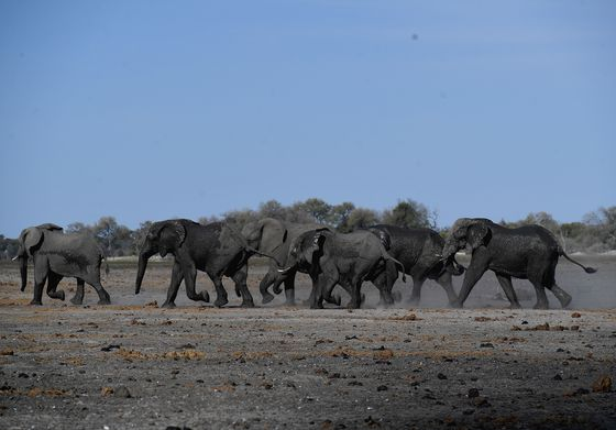 Elephant Mystery Deepens: Botswana Study Shows Sudden Deaths