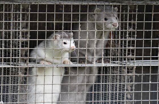 U.K. Bans Travelers From Denmark After Covid Mink Mutation