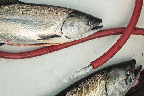 Fredriksen Fish Farmer Chokes on Salmon Glut