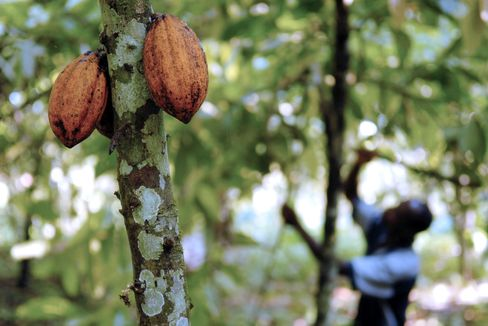 Cocoa Producers are Considering Ways to Boost Grower Income