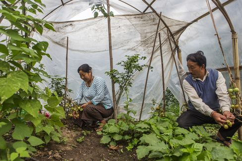 Farmer Nimtshreng Lepcha, right, attends organic tomatoes at his farm in Lower Nandok.