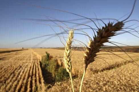 Cheap Wheat Buoys M. Dias Branco Cookie Profit