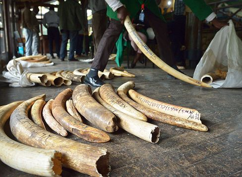 In the past half decade, elephant populations have been drastically reduced by ivory poachers.
