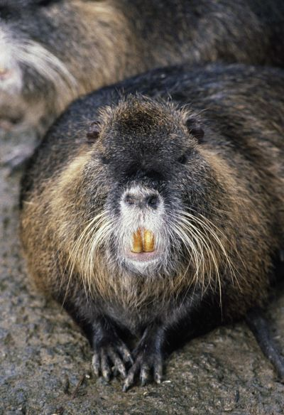The fruitful—and delicious—nutria.