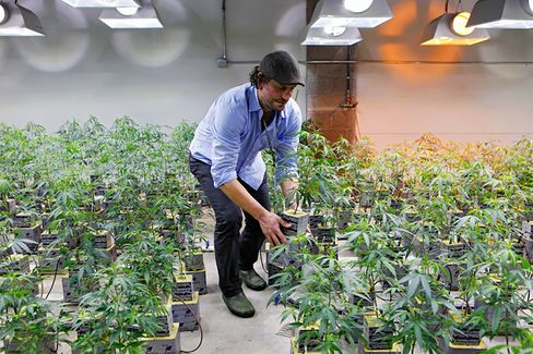 How Marijuana Could Tip the Election