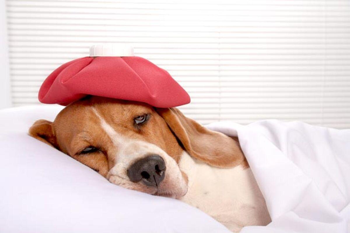الطاعون في الكلاب (الأعراض والأسباب)