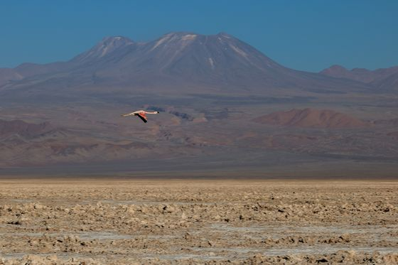 Score One for the Flamingos in High-Altitude Fightfor Lithium Supplies
