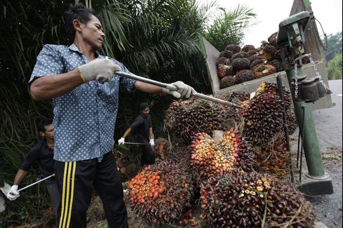 Workers Sort Bunches Of Harvested Palm Fruit