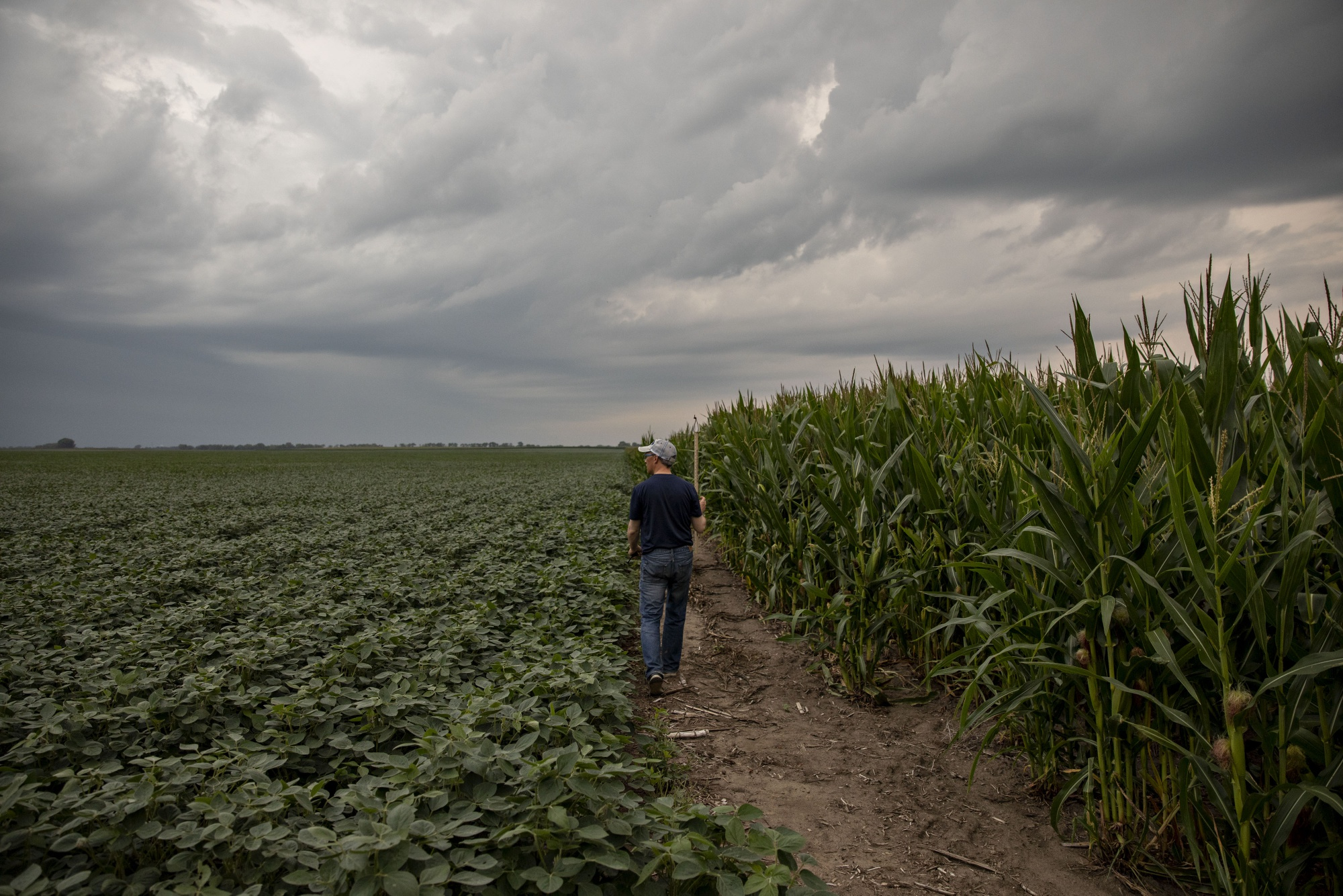 A crop scout walks between a corn and soybean fields during the Pro Farmer Midwest Crop Tour in Chatsworth, Illinois, onAug. 20.