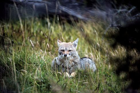 A fox lounging in the grass.