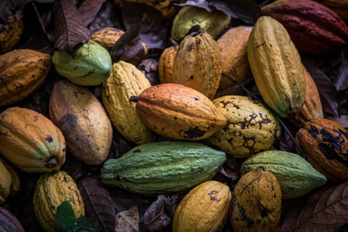 Cocoa Set for Record Crop in Largest Grower, Threatening Prices