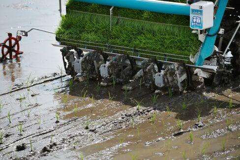 Farmers Plant Rice In Paddies As Planting Season Begins