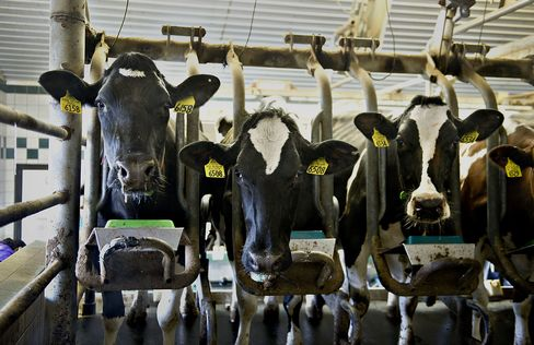 Milk-Cow Drought Culling Accelerates as Prices Jump