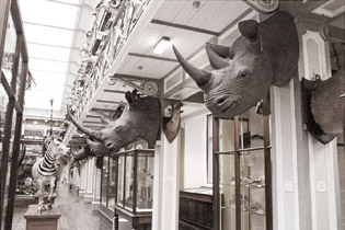 Rhino heads at Ireland's Natural History Museum that were stolen in April 2013