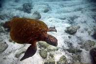 Underwater picture of a Green sea turtle