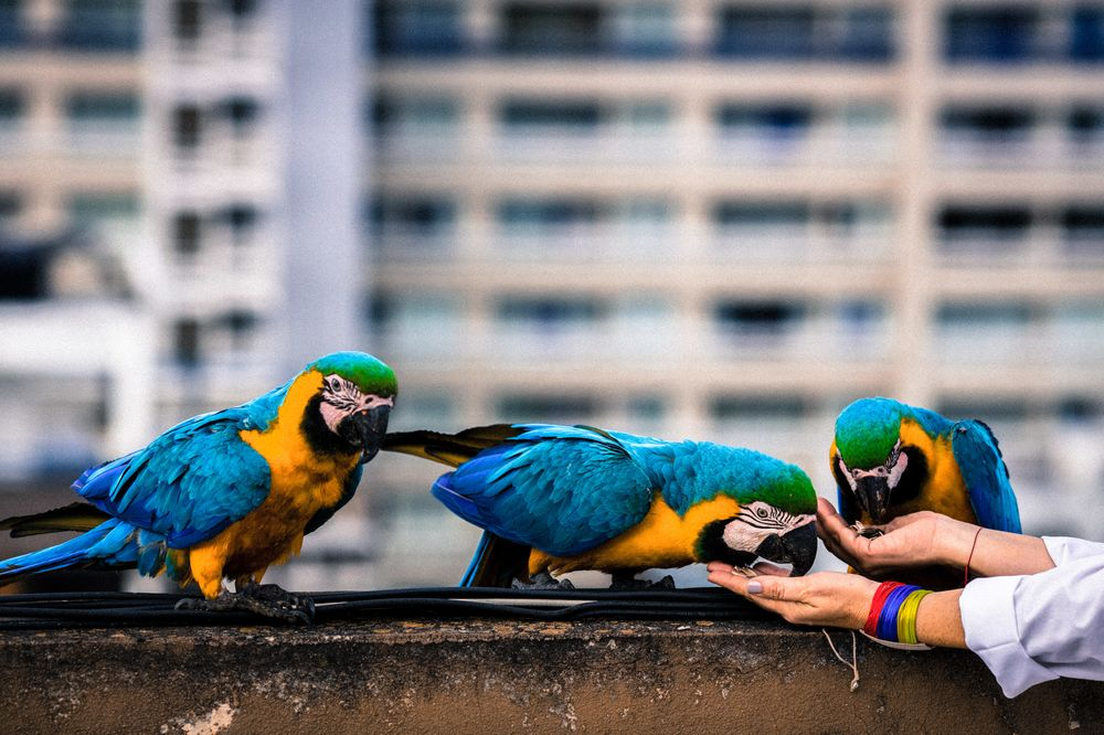 Life in Caracas: Invasion of the Macaws - Bloomberg