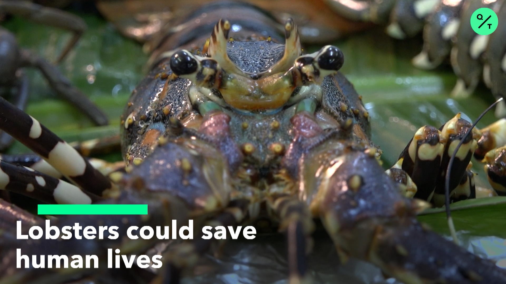 Lobsters Could Save Human Lives