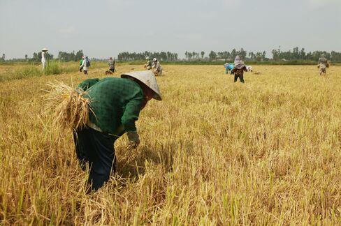Rice Field in Vietnam
