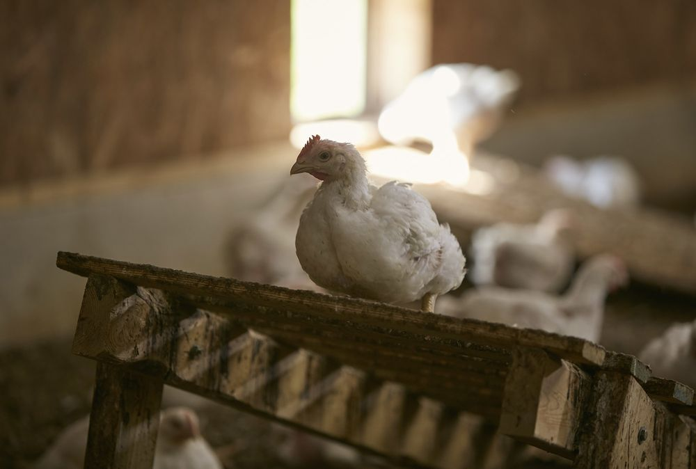 Perdue Unveils a More Humane Chicken Slaughter Process