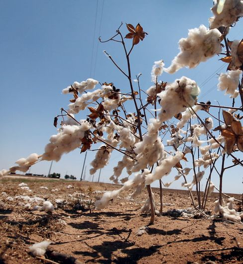 Record Texas Drought Burns Cotton Farmers