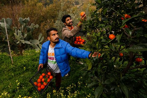 Ijaz Ahmed and Adnan Sajjad pick oranges on a small holding