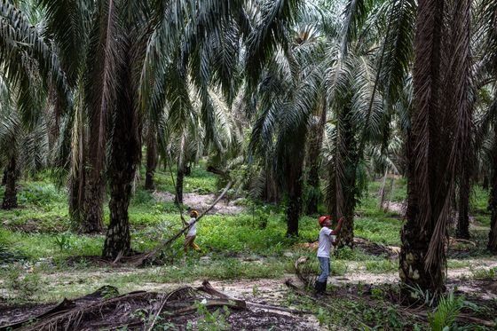 Can Palm Oil Demand Be Met Without Ruining Rainforests?