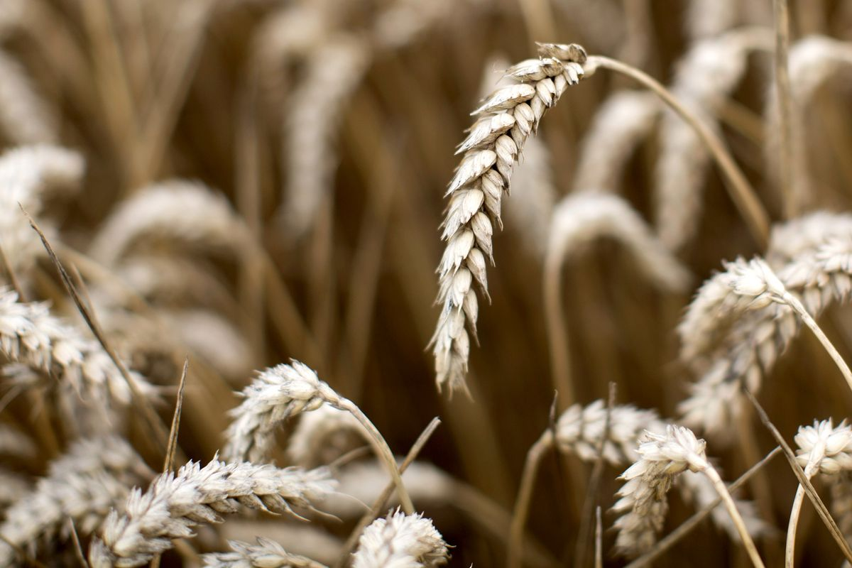 America Great Again in Wheat After Its Exports Overtake Russia's