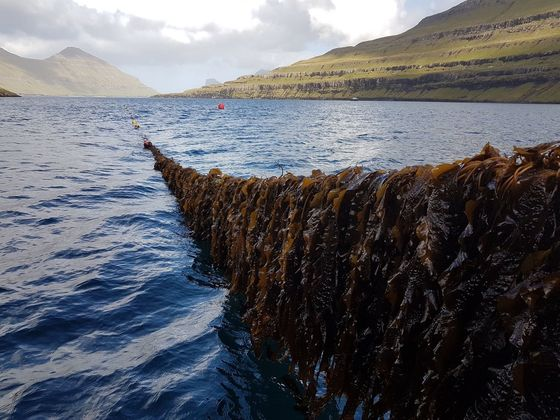 Coastal 'Dead Zones' Are Multiplying.Seaweed May Be a Solution