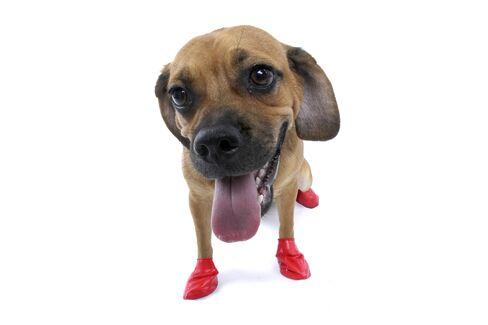 A dog modeling Pawz dog boots.