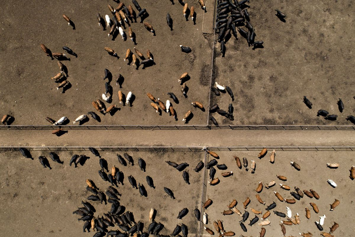 Corn Weather Woes May Be Passed on to U.S. Livestock Farmers