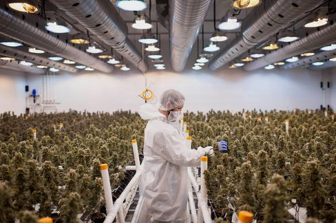 Operations Inside The Tweed Inc. Production Facility As Trudeau Win Signals Gains For Marijuana Stocks