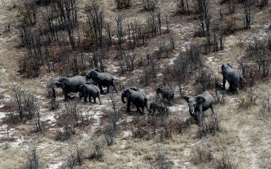 Botswana Wants Angola's Exiled Elephants to Return Home