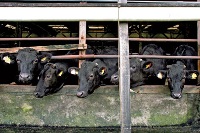 Wagyu cattle