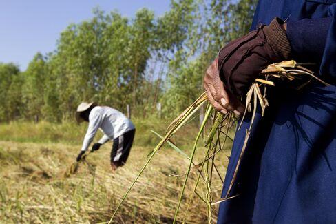 Thai Rice Prices Seen Rising 50% as Thaksin Seeks Rural Vote