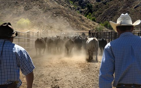 Cattle Ranch in California
