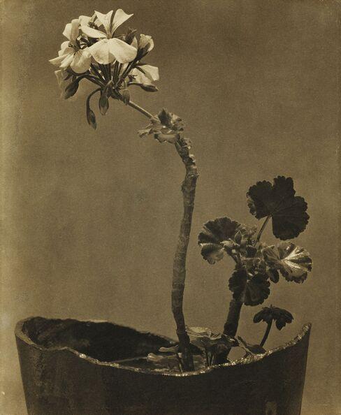 Tina Modotti, Geranio, circa 1924-25